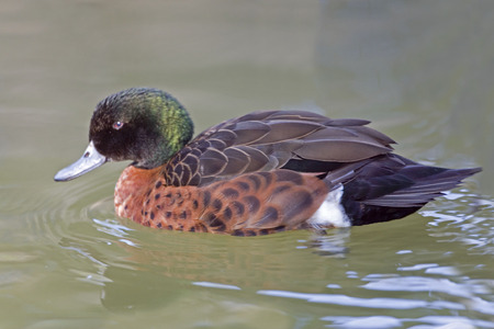 anas: A Male Chestnut Teal, Anas castanea swimming