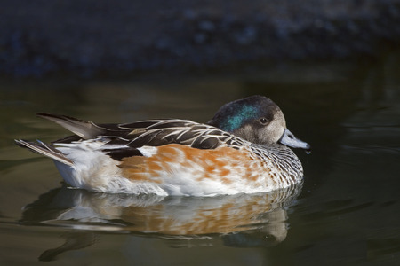 anas: A Relaxed Chiloe Wigeon, Anas sibilatrix