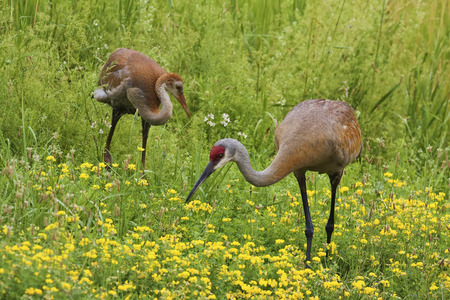 sandhill crane: An Adult and young Sandhill Crane, Grus canadensis