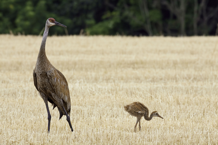 sandhill crane: A Sandhill Crane with young, Grus canadensis