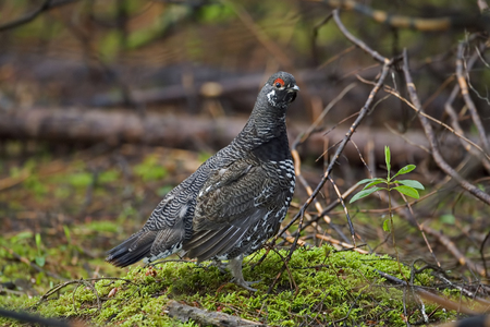 boreal: A Male Spruce Grouse, Falcipennis canadensis, in boreal forest