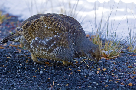 grouse: A Blue Grouse, Dendragapus obscurus, in winter