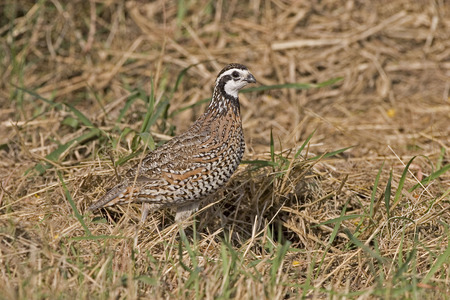 virginianus: A Northern Bobwhite, Colinus virginianus, in meadow