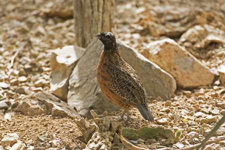 virginianus: The Masked form of Northern Bobwhite, Colinus virginianus, in desert