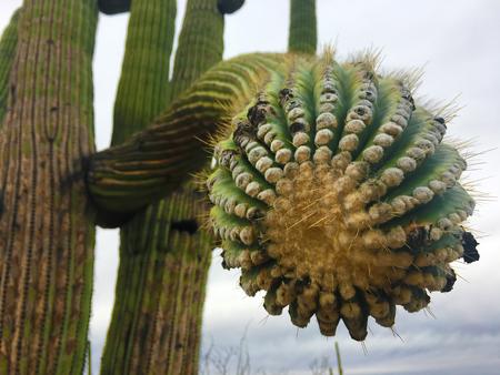 saguaro cactus: A Close-up of a large Saguaro Cactus in the Sonora Desert