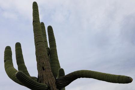 saguaro cactus: A Close view of large Saguaro Cactus