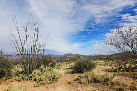 cholla: A View of the Sonora Desert and Octillo cactus Stock Photo