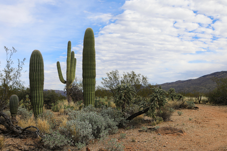 cholla: The Sonoran desert on a beautiful clear day