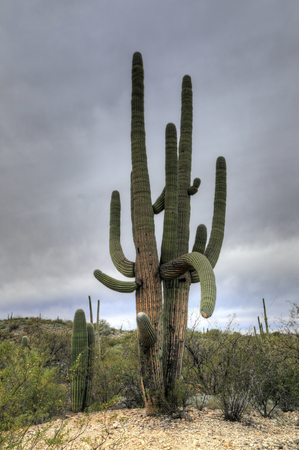 sonora: A Very large Saguaro Cactus in the Sonora Desert
