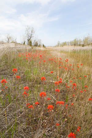 A Large field of Wild Indian Paintbrush, Long Point, Canada Stock Photo