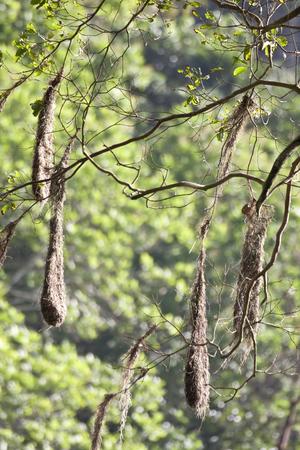 The Crested Oropendola, Psarocolius decumanus, nests in Panama