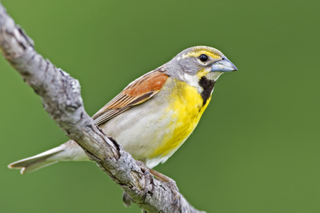 A Dickcissel, Spiza americana, male perched Imagens