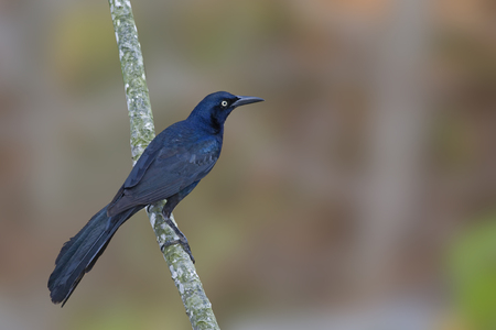 A Male Great-tailed Grackle, Quiscalus mexicanus, on perch Stock fotó - 106516816