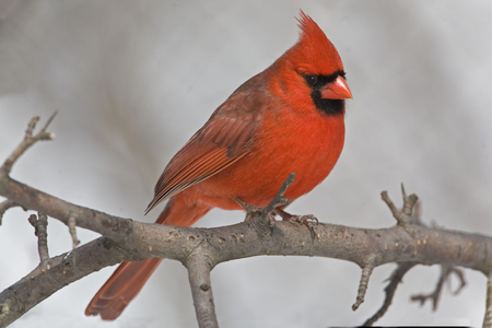 A Male Northern Cardinal, Cardinalis cardinalis, resting in tree