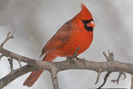 A Male Northern Cardinal, Cardinalis cardinalis, resting in tree Foto de archivo - 106516907