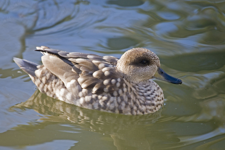 Crested Duck, Anas specularioides, on the water 写真素材