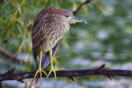 A Juvenile Black-crowned Night Heron, Nycticorax nycticorax on branch