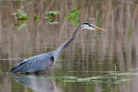 A Great Blue Heron, Ardea herodias, in water