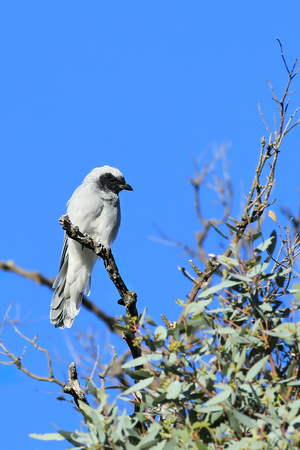 A Vertical of Masked Woodswallow, Artamus personatus, perched