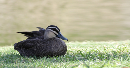 A Pacific Black Duck, Anas superciliosa, relaxing