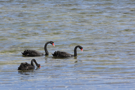 A Group of Black Swan, Cygnus atratus, swimming Reklamní fotografie - 124619702