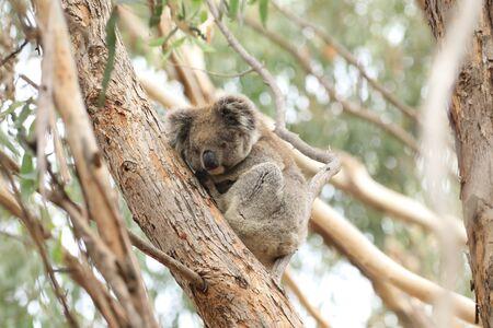 A Koala, Phascolarctos cinereus, on a tree