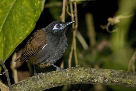 A Chestnut-backed Antbird, Myrmeciza exsul, in trees