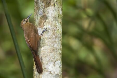 A Plain-brown Woodcreeper, Dendrocincla fuliginosa, on tree