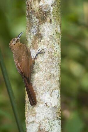 A Vertical of Plain-brown Woodcreeper, Dendrocincla fuliginosa