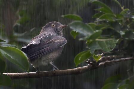 A Female Pompadour Cotinga, Xipholena punicea, in rain Stock fotó