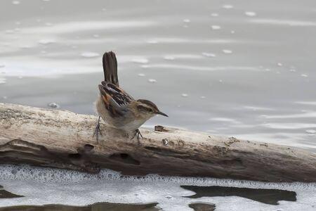 A Wren-like Rushbird, Phleocryptes melanops, on log