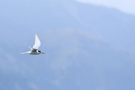 A White-fronted Tern, Sterna striata, flying Stock fotó