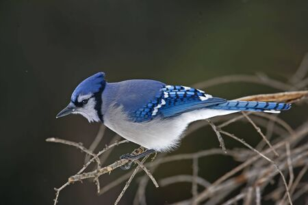 A Blue Jay, Cyanocitta cristata, in branches