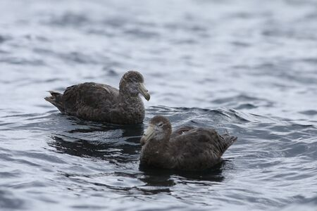 A Northern Giant Petrel, Macronectes halli, pair