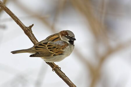 A Male House Sparrow, Passer domesticus, perched