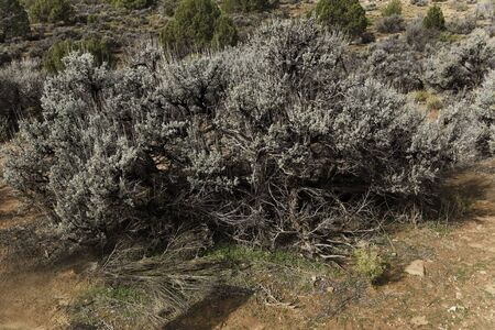 The Big Sagebrush, Artemisia tridentata, found in arid regions