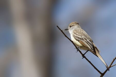 A Brown-crested Flycatcher, Myiarchus tyrannulus,perched