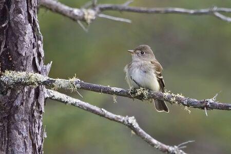 An Alder Flycatcher, Empidonax alnorum, perched on branch