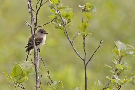An Alder Flycatcher, Empidonax alnorum, in bush