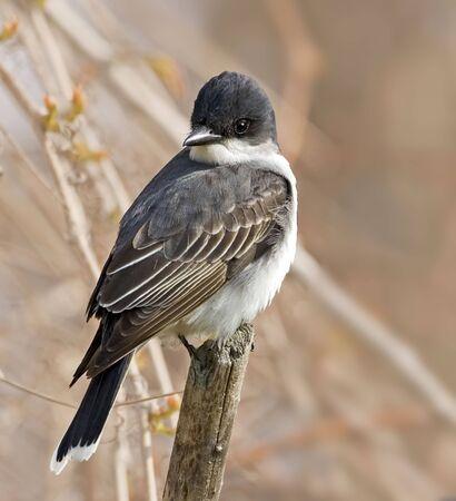 An Eastern Kingbird, Tyrannus tyrannus, on post