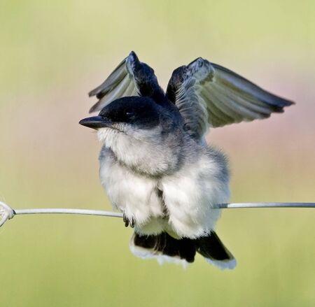 An Eastern Kingbird, Tyrannus tyrannus, with open wings