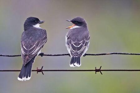 An Eastern Kingbird, Tyrannus tyrannus, adult with juvenile
