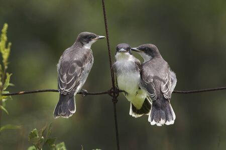 An Eastern Kingbird, Tyrannus tyrannus, adult with young