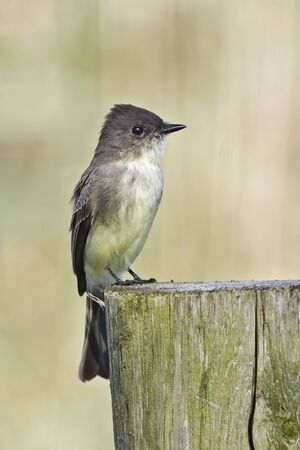 A Vertical of Eastern Phoebe, Sayornis phoebe, perched on post