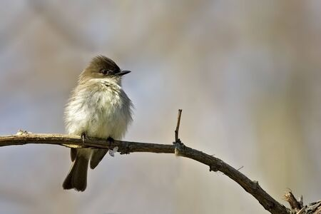 An Eastern Phoebe, Sayornis phoebe, perched on branch