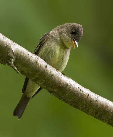 An Eastern Wood Pewee, Contopus virens, perched in tree Stock Photo