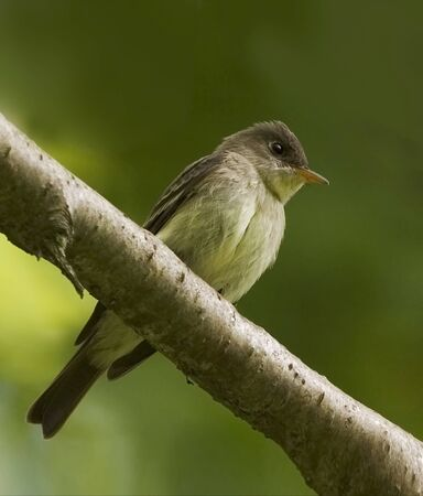 An Eastern Wood Pewee, Contopus virens, perched on branch Stock fotó