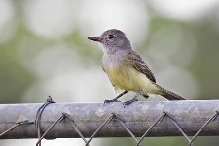 A Panama Flycatcher, Myiarchus panamensis, perched on fence Imagens