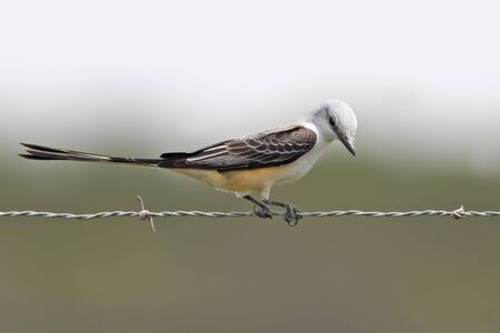 A Scissor-tailed Flycatcher, Tyrannus forficatus, perched on wire
