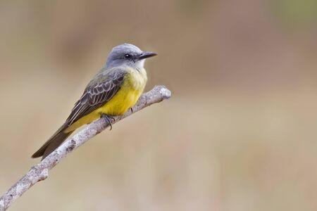 A Tropical Kingbird, Tyrannus melancholicus, perched